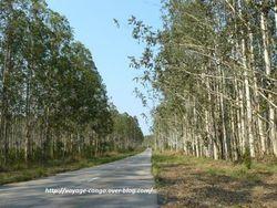 """Dans la rubrique """"témoignage"""" : l'eucalyptus au Congo"""